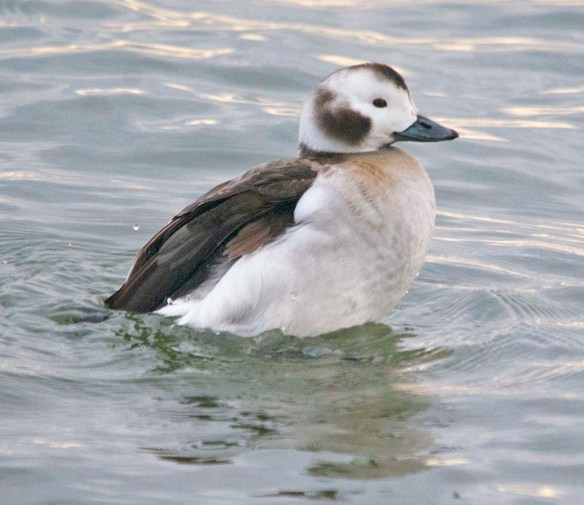 Long Tailed Duck 2021-22