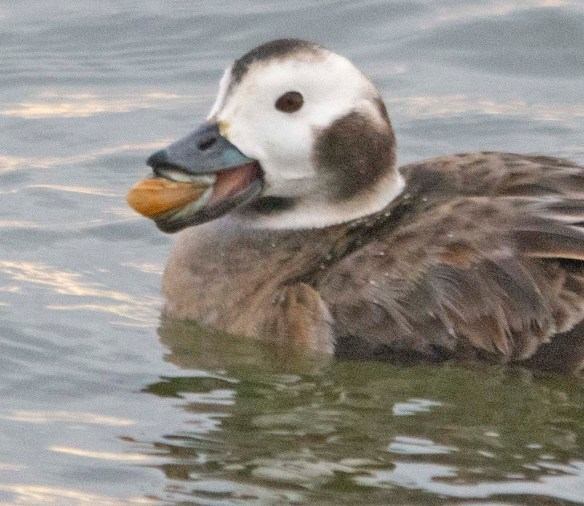 Long Tailed Duck 2021-24