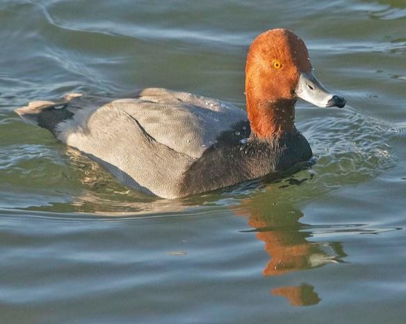 Redhead 2021-1