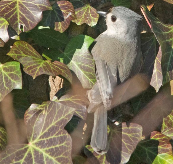 Tufted Titmouse 2021-1