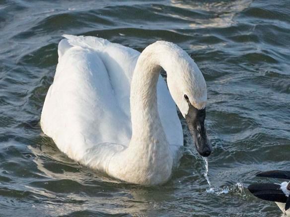 Tundra Swan 2021-14