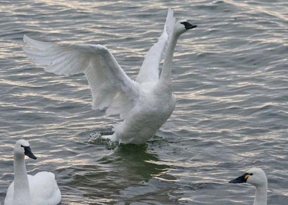 Tundra Swan 2021-51