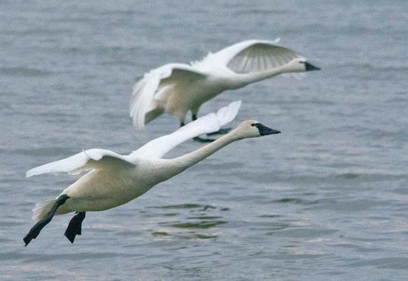 Tundra Swan 2021-52