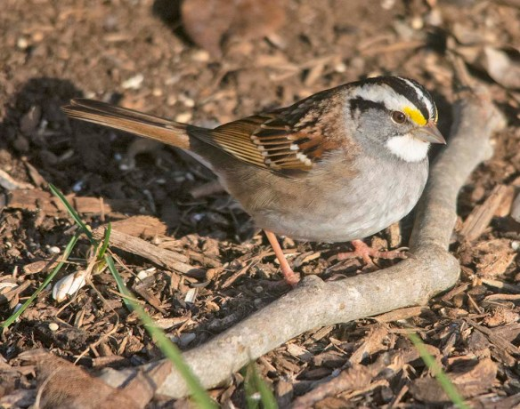 White Throated Sparrow 2021-1`