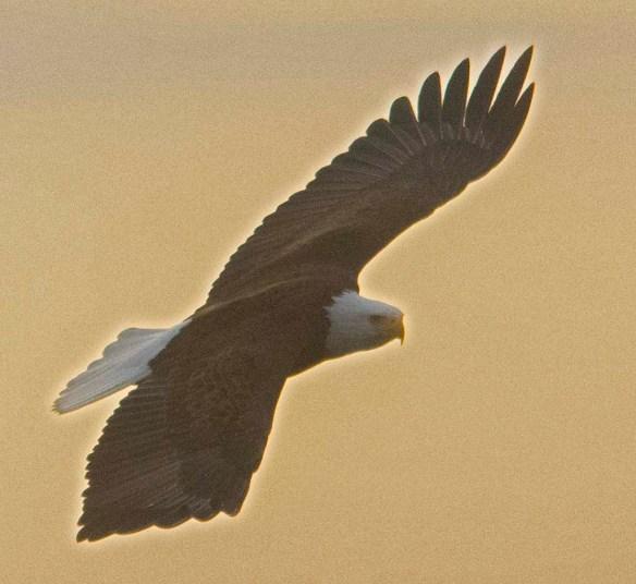 Bald Eagle 2021-4