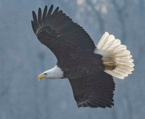 Bald Eagle 2021-7