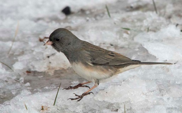 Dark Eyed Junco 2020-10