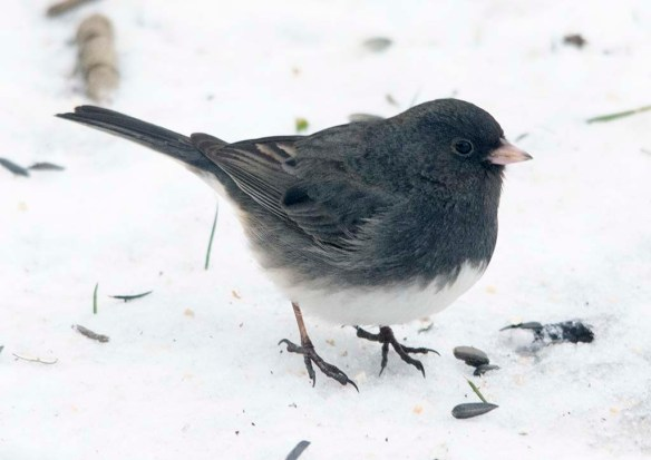 Dark Eyed Junco 2020-14