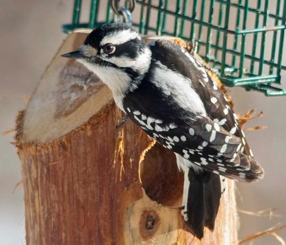 Downy Woodpecker 2021-5