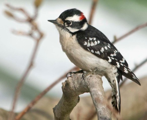 Downy Woodpecker 2021-6