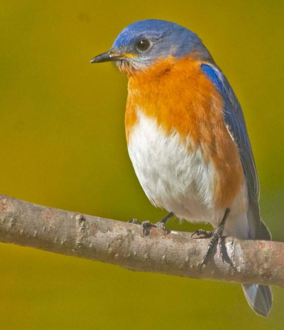 Eastern Bluebird 2020-11