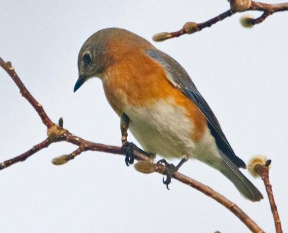 Eastern Bluebird 2020-4