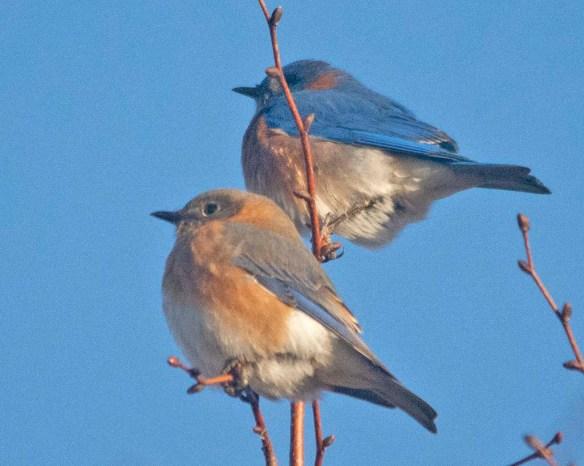 Eastern Bluebird 2020-6