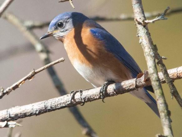 Eastern Bluebird 2020-8