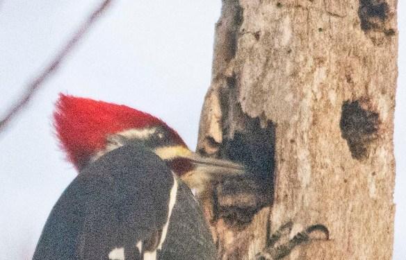Pileated Woodpecker 2021-2