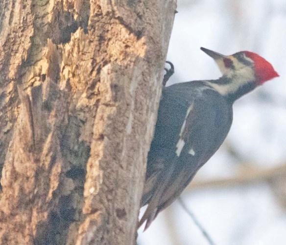 Pileated Woodpecker 2021-3