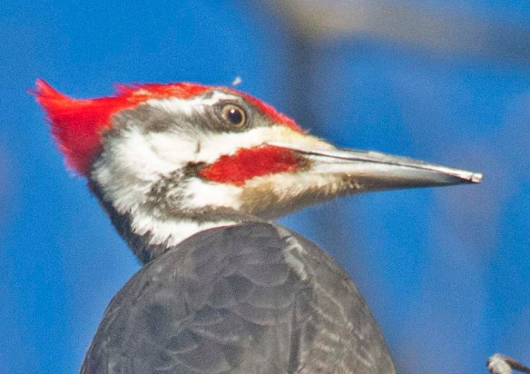 Pileated Woodpecker 2021-7