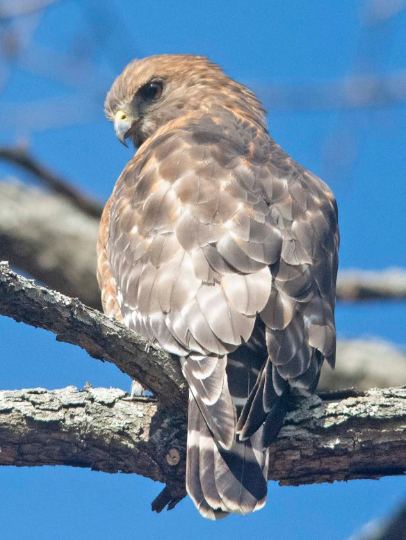 Red Shouldered Hawk 2021-15
