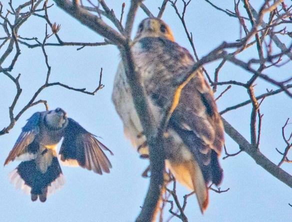 Red Shouldered Hawk 2021-20