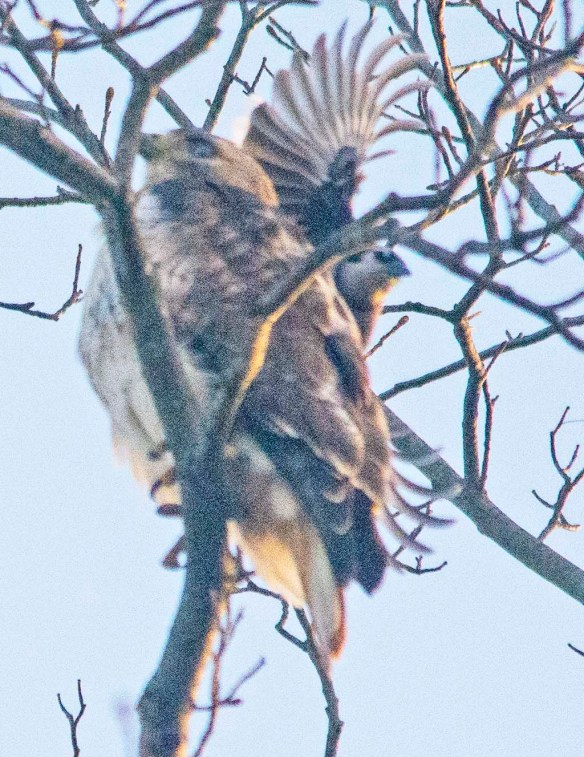 Red Shouldered Hawk 2021-21