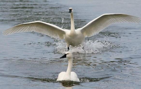 Tundra Swan 2021-68