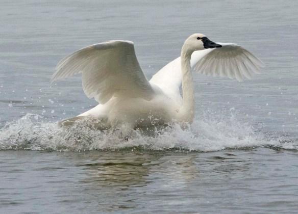 Tundra Swan 2021-69
