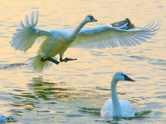 Tundra Swan 2021-74