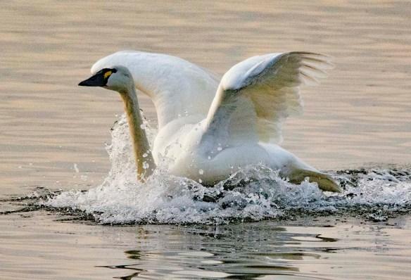 Tundra Swan 2021-76