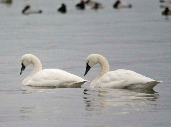 Tundra Swan 2021-83