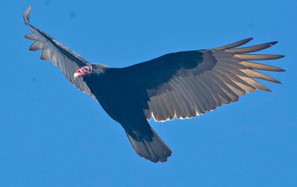 Turkey Vulture 2021-1