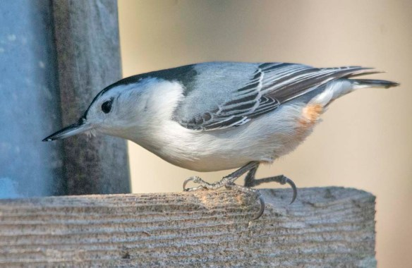 White Breasted Nuthatch 2021-5