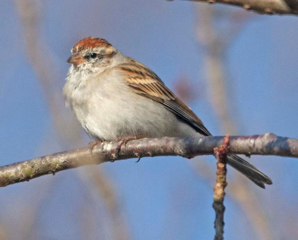 Chipping Sparrow 2021-6