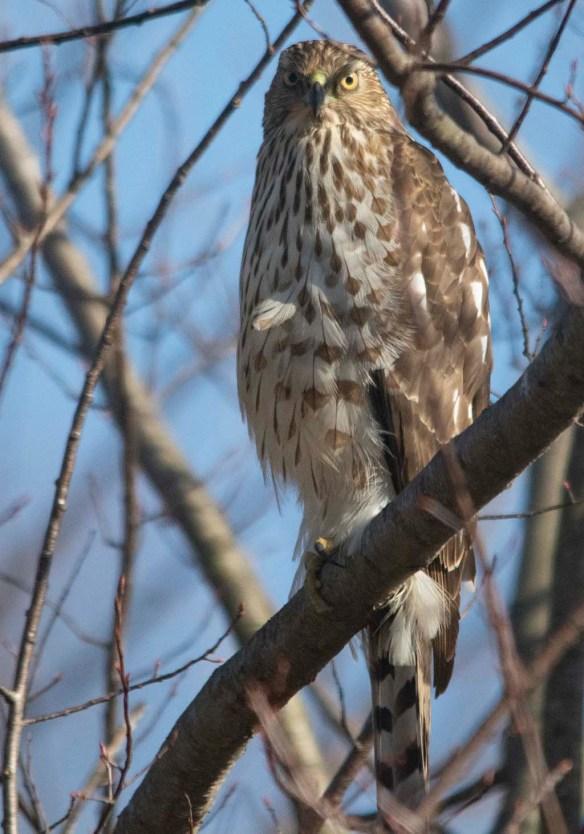 Cooper's Hawk 2021-2
