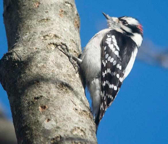 Downy Woodpecker 2021-10