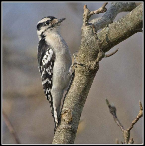 Downy Woodpecker 2021-16b