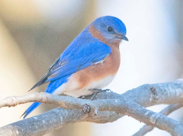 Eastern Bluebird 2020-18