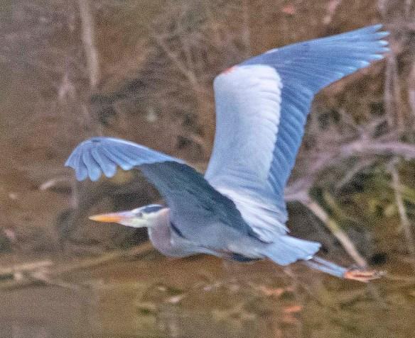 Great Blue Heron 2021-13
