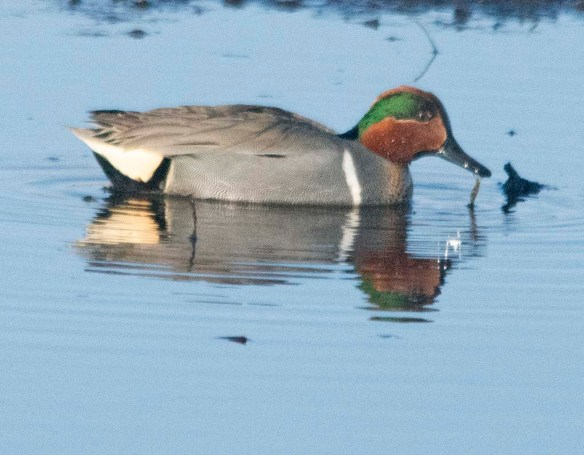 Green Winged Teal 2021-2