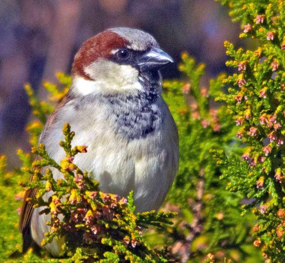 House Sparrow 2021-1