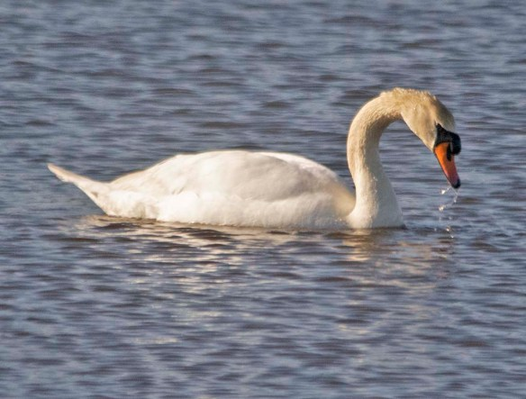 Mute Swan 2021-2