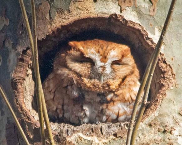 Screech Owl 2021-1
