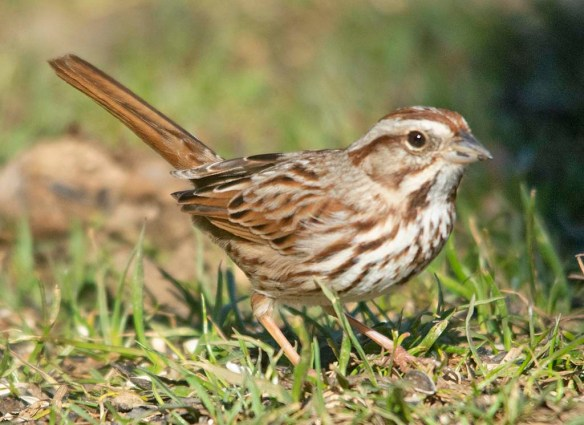 Song Sparrow 2021-57