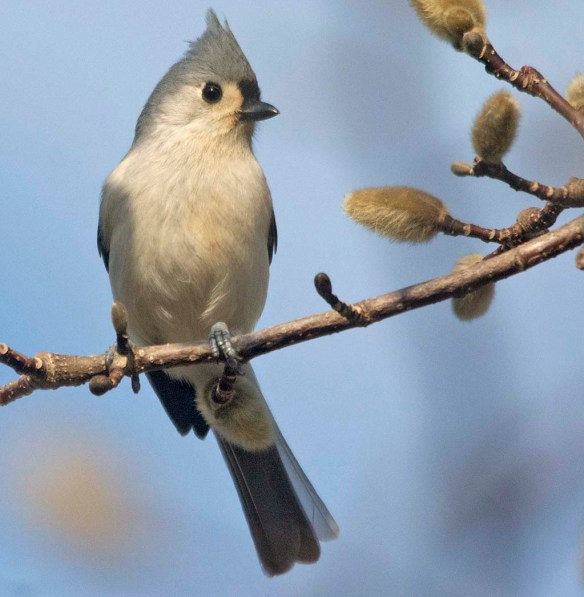 Tufted Titmouse 2021-6