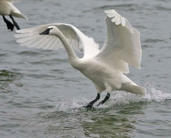 Tundra Swan 2021-90