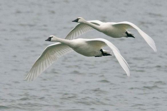 Tundra Swan 2021-92