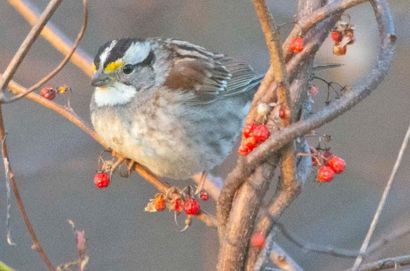 White Throated Sparrow 2021-22