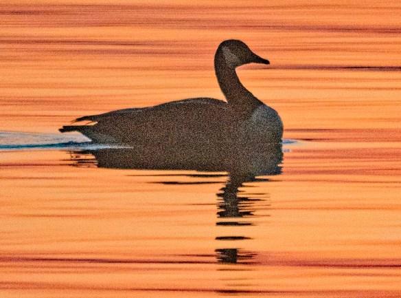 Canada Goose 2021-40