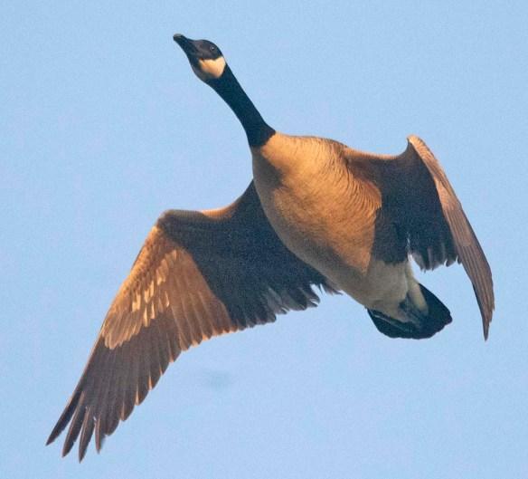 Canada Goose 2021-46
