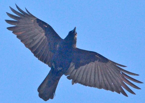 Crow 2021-1