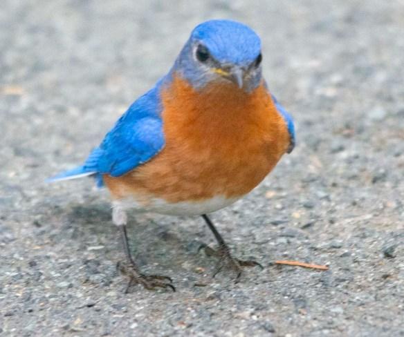 Eastern Bluebird 2020-31